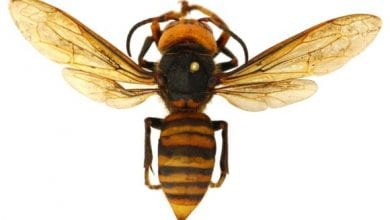 Photo of 'Killer' hornets not found in the Northeastern U.S.