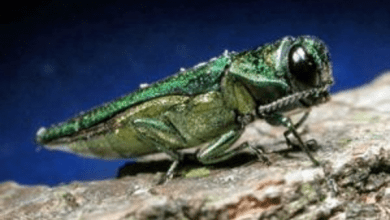 Photo of Morris County continues to cut ash trees in response to insect attacks