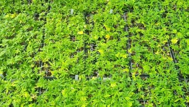 Photo of USDA approves New Jersey's hemp plan