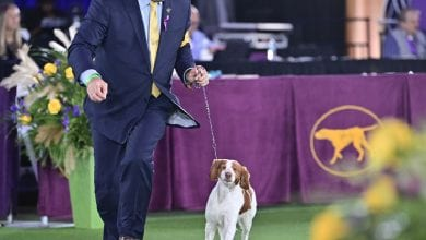 Handler, Doug tighe running with his brittany dog, Pennie, toward camera