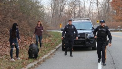 Photo of Police officers corral escaped pig on the loose in Blairstown Twp. (PHOTOS)