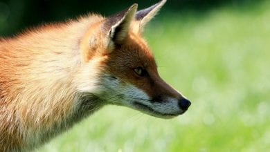 Photo of Fox tests positive for rabies in Hunterdon County
