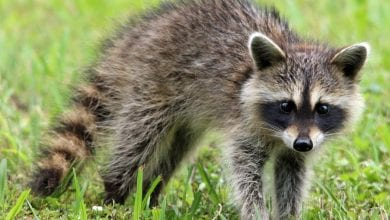 Photo of Raccoon tests positive for rabies in Hunterdon County